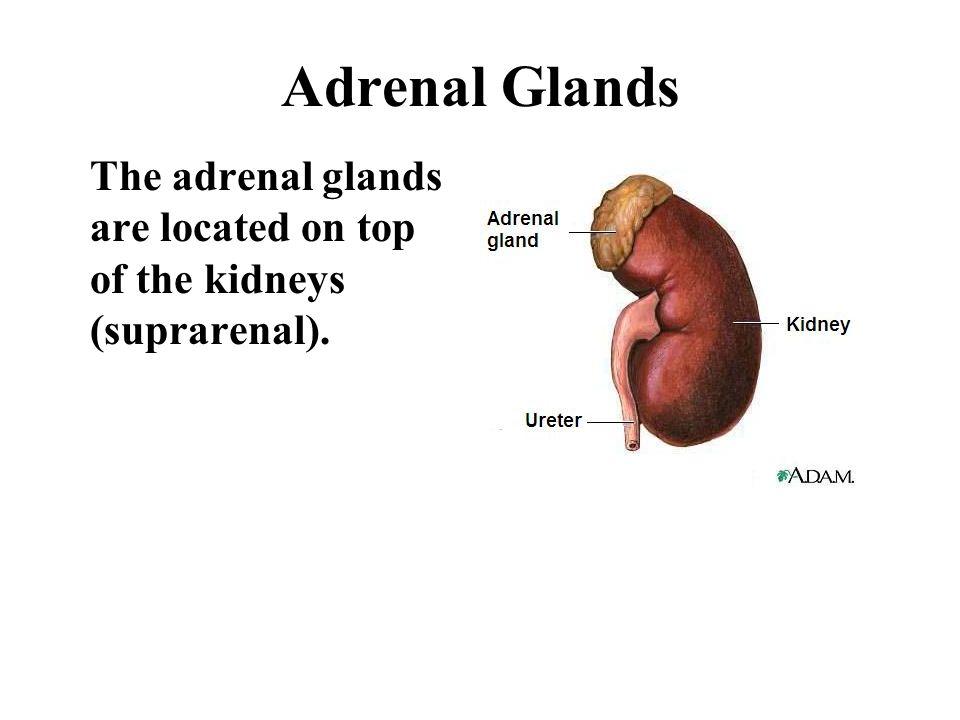 Hormones of the Anterior Lobe Prolactin Prolactin controls the secretion of milk by the mammary glands.