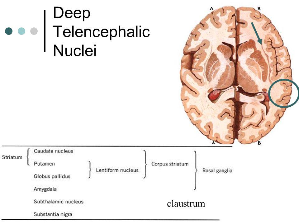 Deep Telencephalic Nuclei claustrum