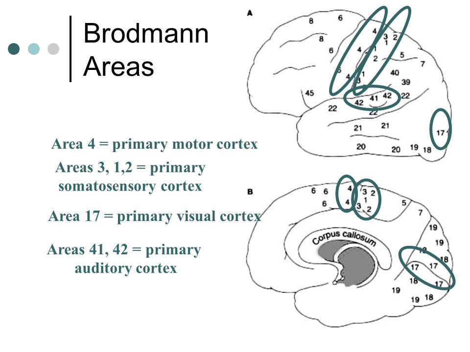Brodmann Areas Area 4 = primary motor cortex Areas 3, 1,2 = primary somatosensory cortex Area 17 = primary visual cortex Areas 41, 42 = primary audito