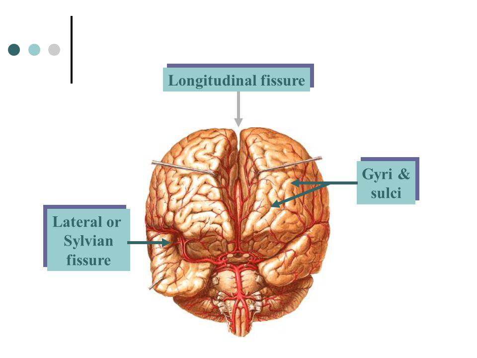 Longitudinal fissure Lateral or Sylvian fissure Lateral or Sylvian fissure Gyri & sulci Gyri & sulci
