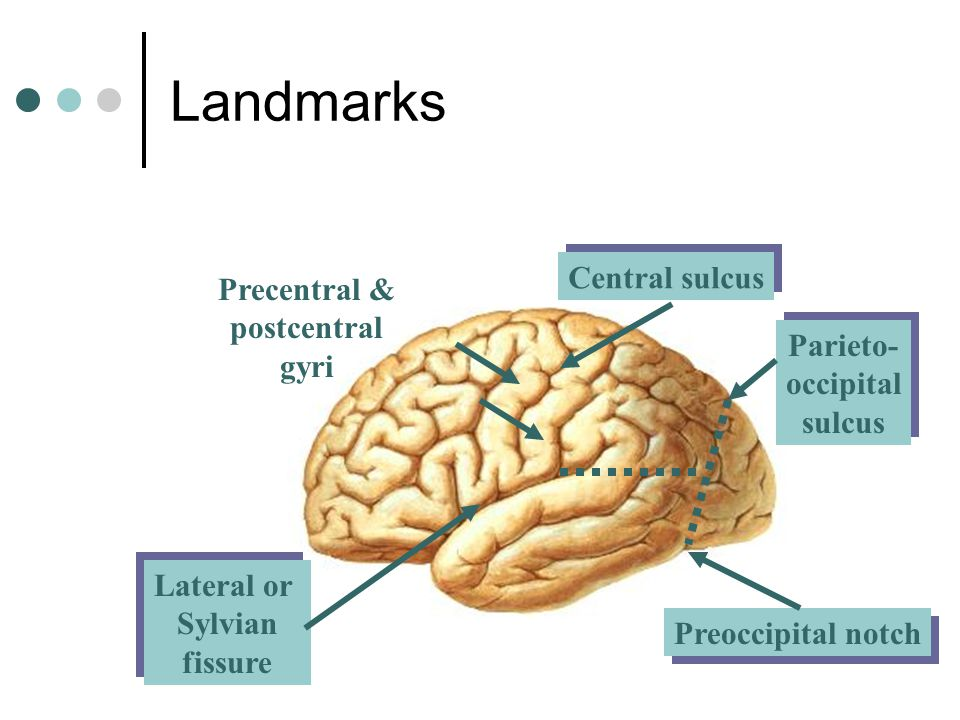 Lateral or Sylvian fissure Lateral or Sylvian fissure Central sulcus Precentral & postcentral gyri Parieto- occipital sulcus Parieto- occipital sulcus