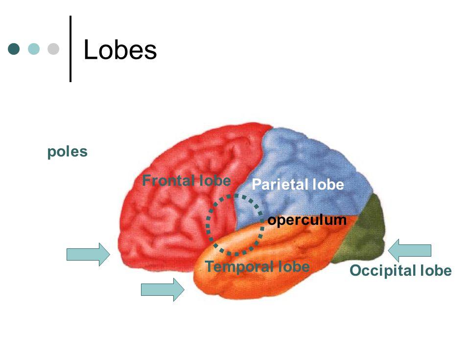 Frontal lobe Parietal lobe Temporal lobe Occipital lobe poles operculum Lobes