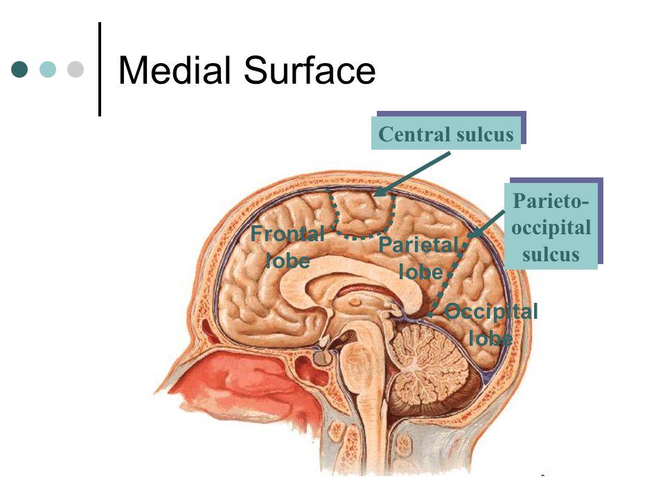 Parieto- occipital sulcus Parieto- occipital sulcus Medial Surface Parietal lobe Occipital lobe Frontal lobe Central sulcus