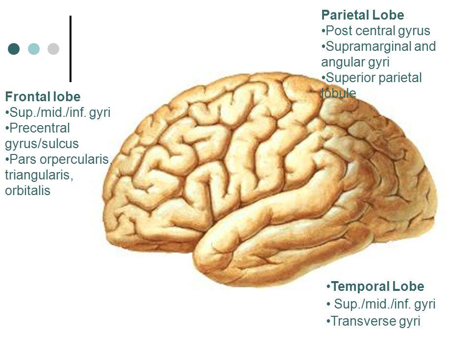 Frontal lobe Sup./mid./inf. gyri Precentral gyrus/sulcus Pars orpercularis, triangularis, orbitalis Parietal Lobe Post central gyrus Supramarginal and