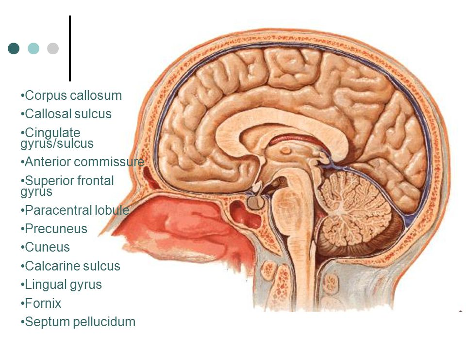 Corpus callosum Callosal sulcus Cingulate gyrus/sulcus Anterior commissure Superior frontal gyrus Paracentral lobule Precuneus Cuneus Calcarine sulcus