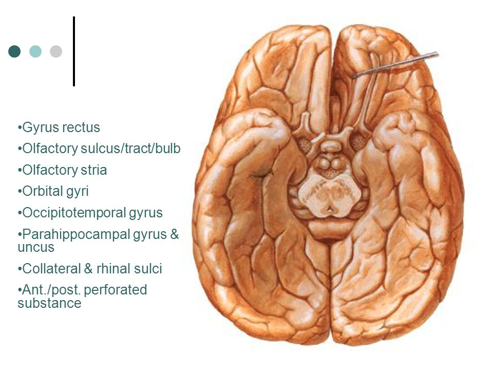 Gyrus rectus Olfactory sulcus/tract/bulb Olfactory stria Orbital gyri Occipitotemporal gyrus Parahippocampal gyrus & uncus Collateral & rhinal sulci A