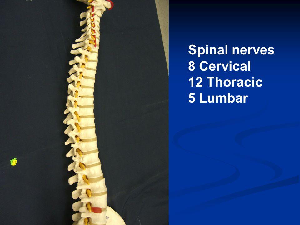 Spinal nerves 8 Cervical 12 Thoracic 5 Lumbar