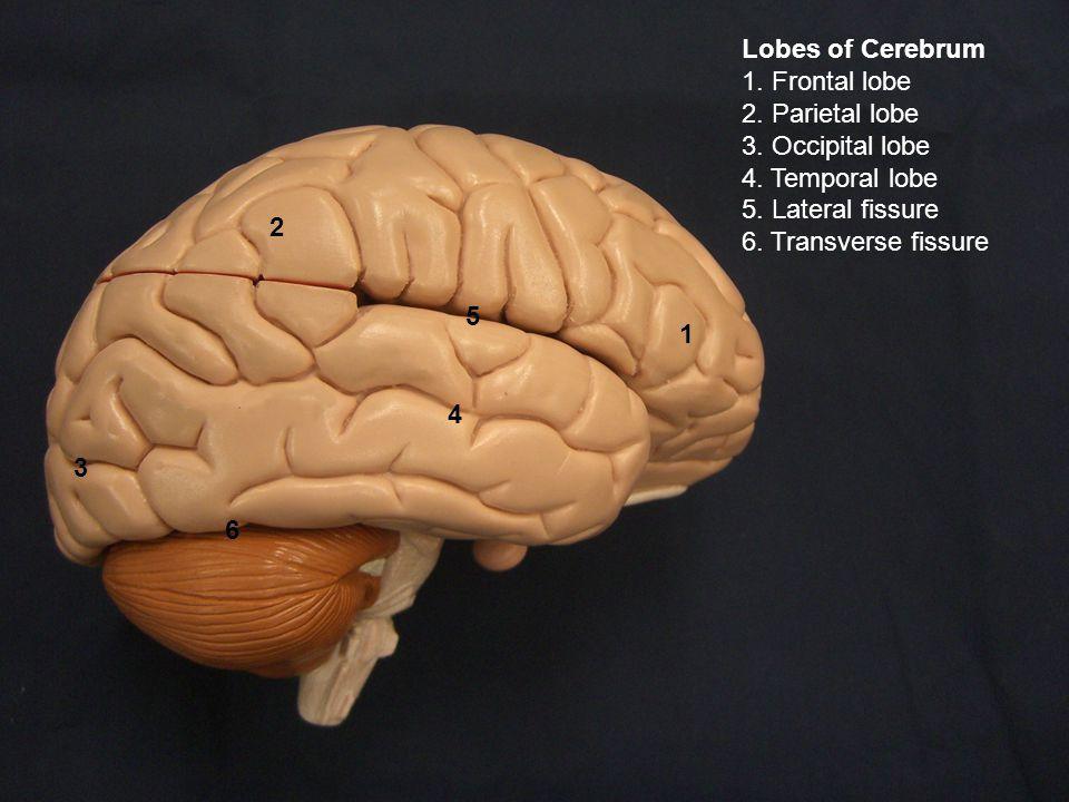 Lobes of Cerebrum 1. Frontal lobe 2. Parietal lobe 3.