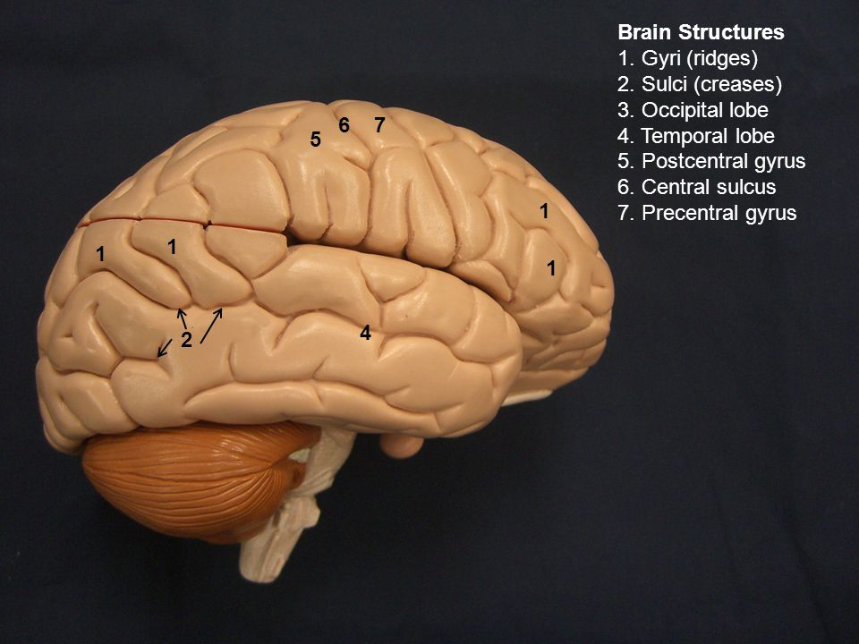 Brain Structures 1. Gyri (ridges) 2. Sulci (creases) 3. Occipital lobe 4. Temporal lobe 5. Postcentral gyrus 6. Central sulcus 7. Precentral gyrus 2 1