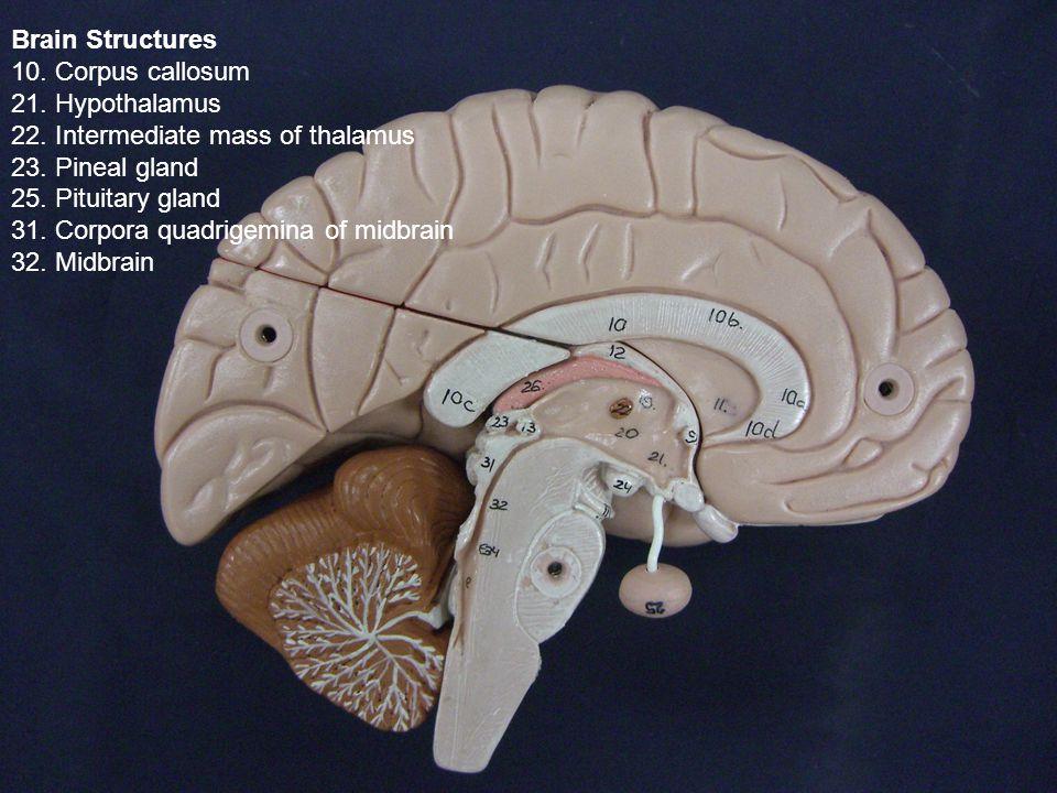 Brain Structures 10. Corpus callosum 21. Hypothalamus 22.