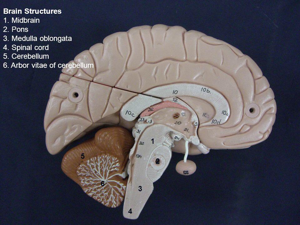 Brain Structures 1. Midbrain 2. Pons 3. Medulla oblongata 4.