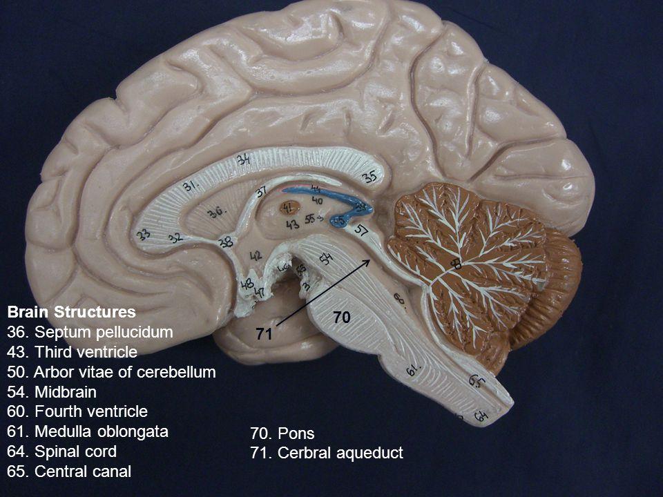 Brain Structures 36. Septum pellucidum 43. Third ventricle 50.