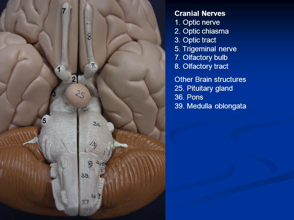 Cranial Nerves 1. Optic nerve 2. Optic chiasma 3. Optic tract 5. Trigeminal nerve 7. Olfactory bulb 8. Olfactory tract Other Brain structures 25. Pitu