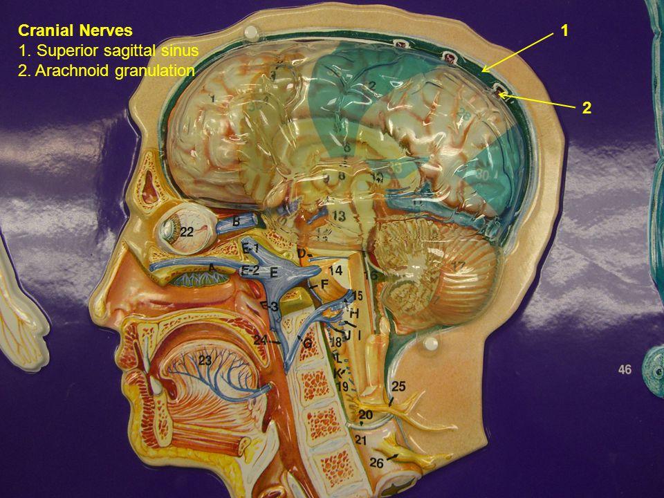 Cranial Nerves 1. Superior sagittal sinus 2. Arachnoid granulation 1 2