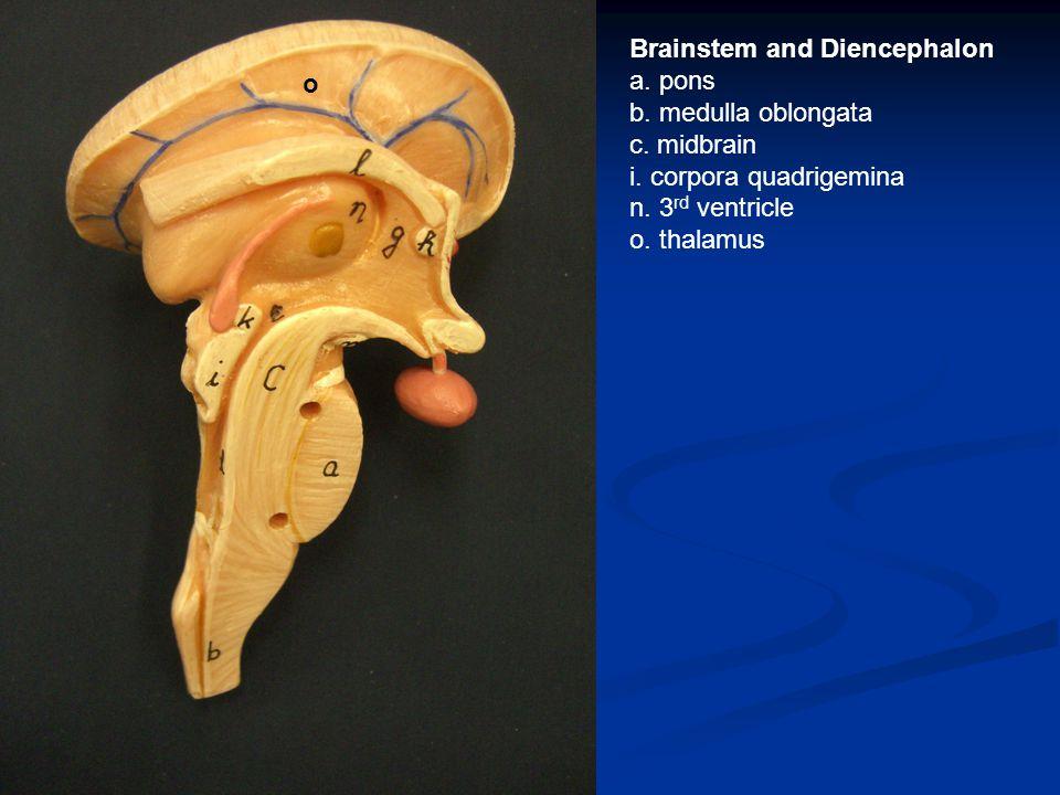 Brainstem and Diencephalon a. pons b. medulla oblongata c.