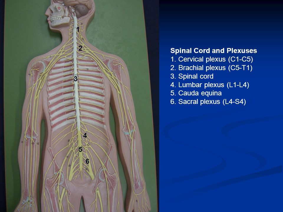 1 2 3 4 6 5 Spinal Cord and Plexuses 1. Cervical plexus (C1-C5) 2.