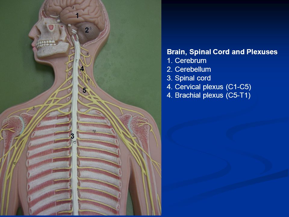 Brain, Spinal Cord and Plexuses 1. Cerebrum 2. Cerebellum 3.