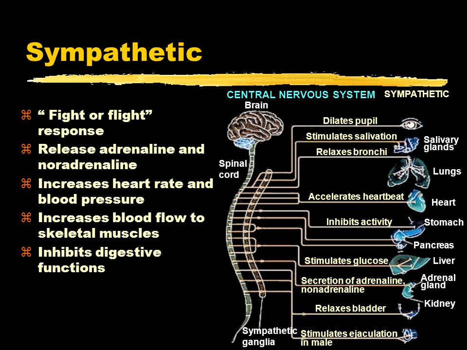 Parasympathetic z Rest and digest system zCalms body to conserve and maintain energy zLowers heartbeat, breathing rate, blood pressure CENTRAL NERVOUS SYSTEM Brain PARASYMPATHETIC Spinal cord Stimulates salivation Constricts bronchi Slows heartbeat Stimulates activity Contracts bladder Stimulates erection of sex organs Stimulates gallbladder Gallbladder Contracts pupil
