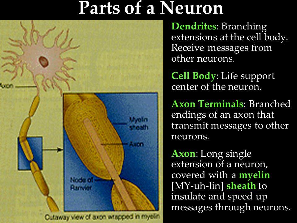 Parts of a Neuron – Summary