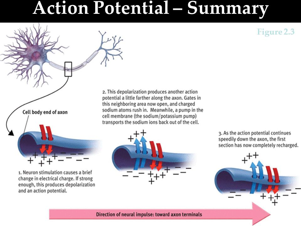Refractory Period & Pumps Refractory Period: After a neuron fires an action potential, it pauses for a short period to recharge itself to fire again.
