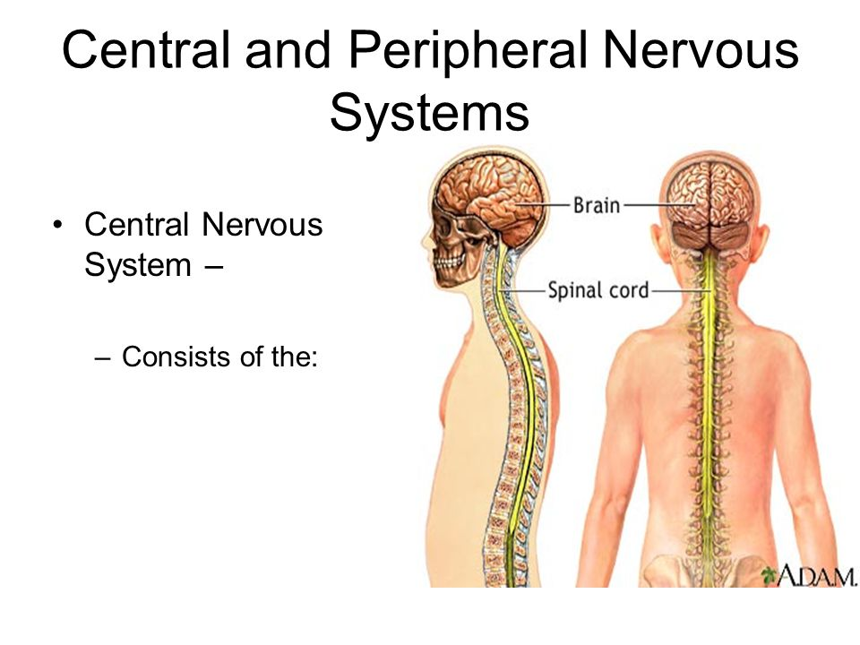 Central and Peripheral Nervous Systems Central Nervous System – –Consists of the: