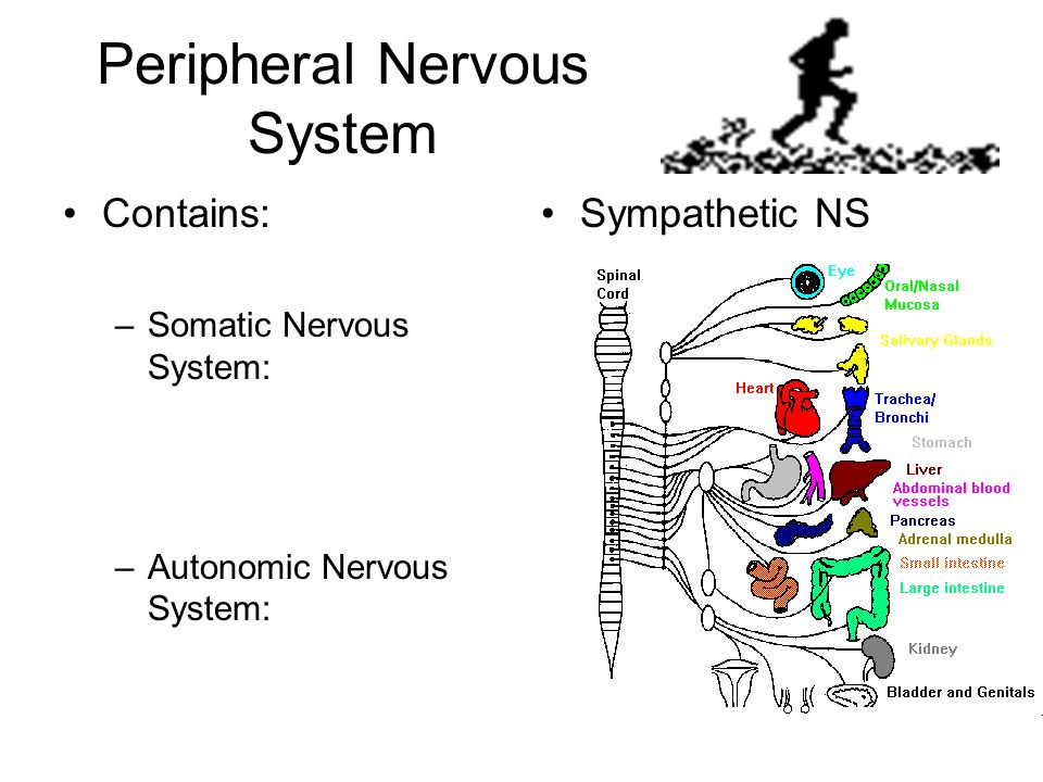 Peripheral Nervous System Contains: –Somatic Nervous System: –Autonomic Nervous System: Sympathetic NS
