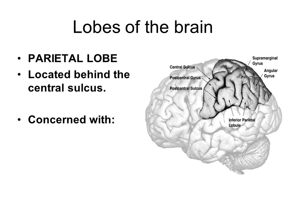 Lobes of the brain PARIETAL LOBE Located behind the central sulcus. Concerned with: