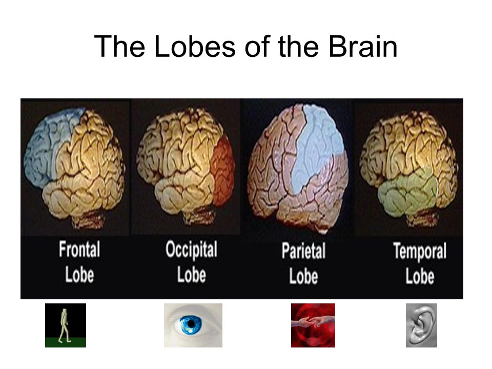The Lobes of the Brain.
