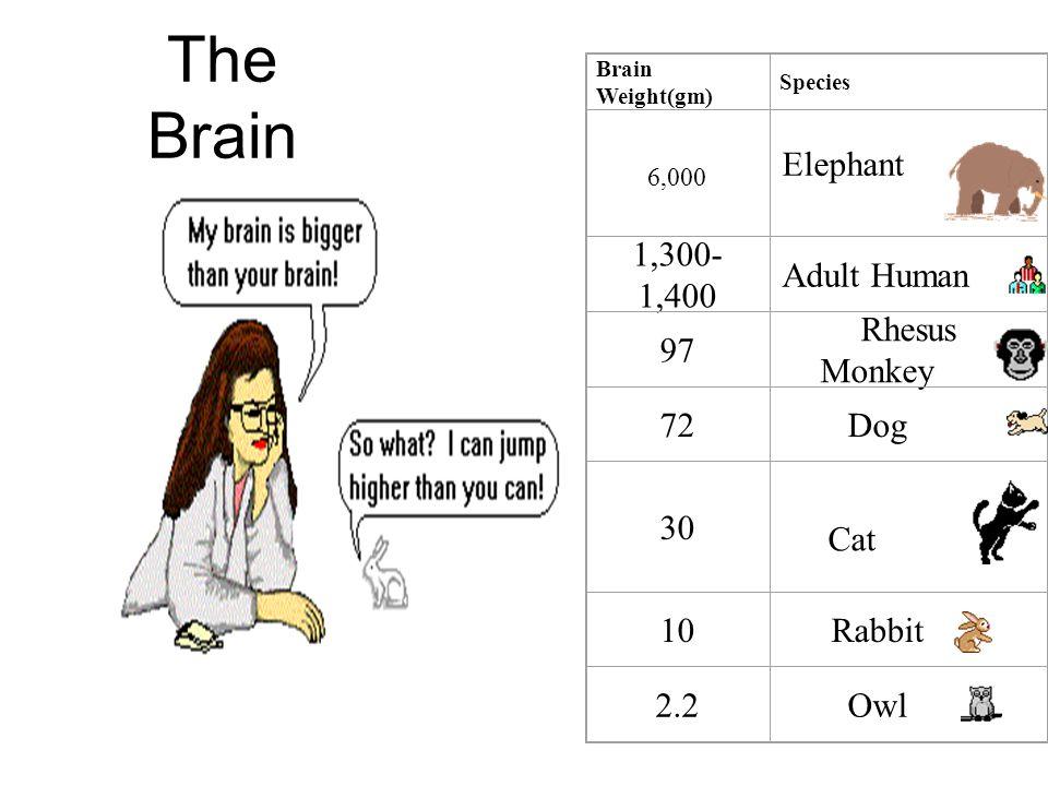 The Brain Brain Weight(gm) Species 6,000 Elephant 1,300- 1,400 Adult Human 97 Rhesus Monkey 72Dog 30 Cat 10Rabbit 2.2Owl