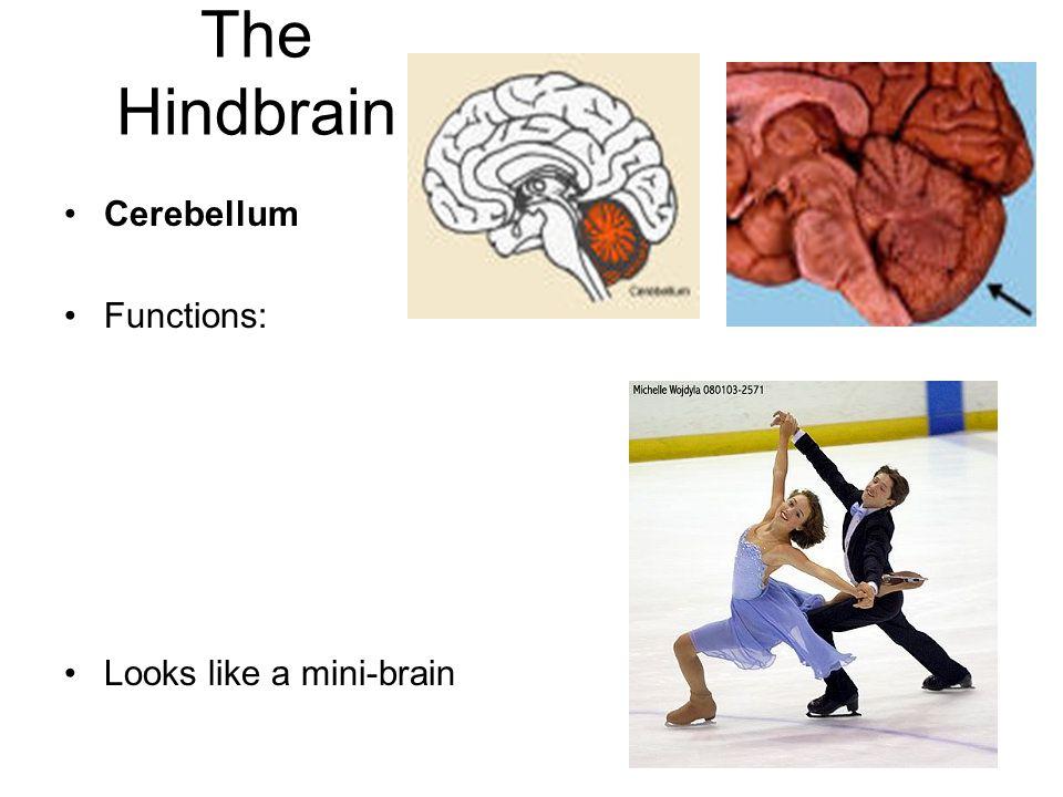 The Hindbrain Cerebellum Functions: Looks like a mini-brain