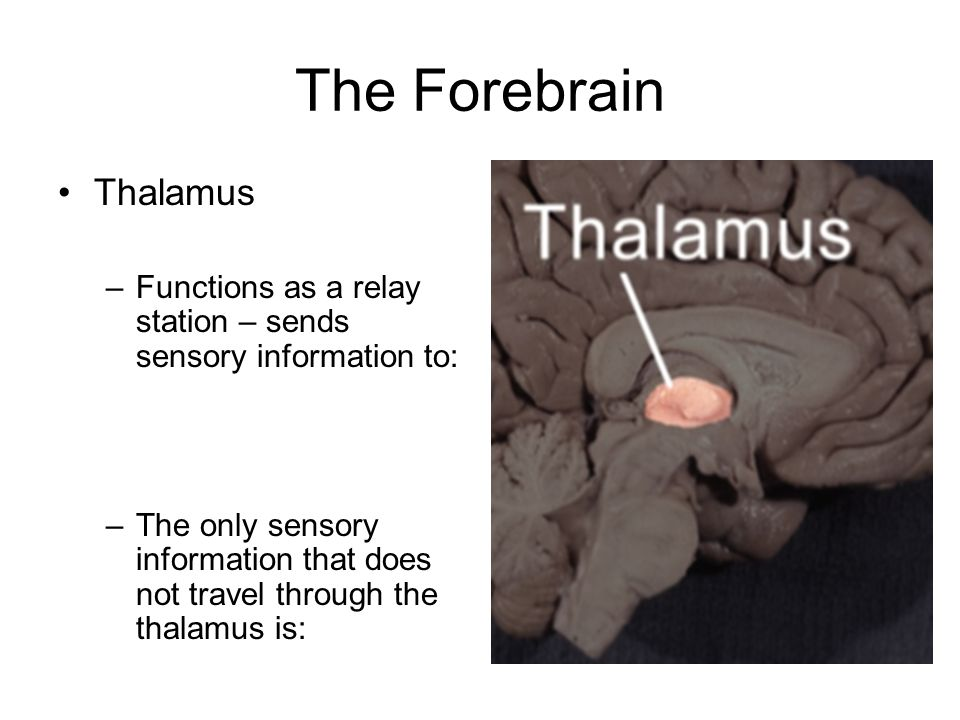 The Forebrain Thalamus –Functions as a relay station – sends sensory information to: –The only sensory information that does not travel through the thalamus is: