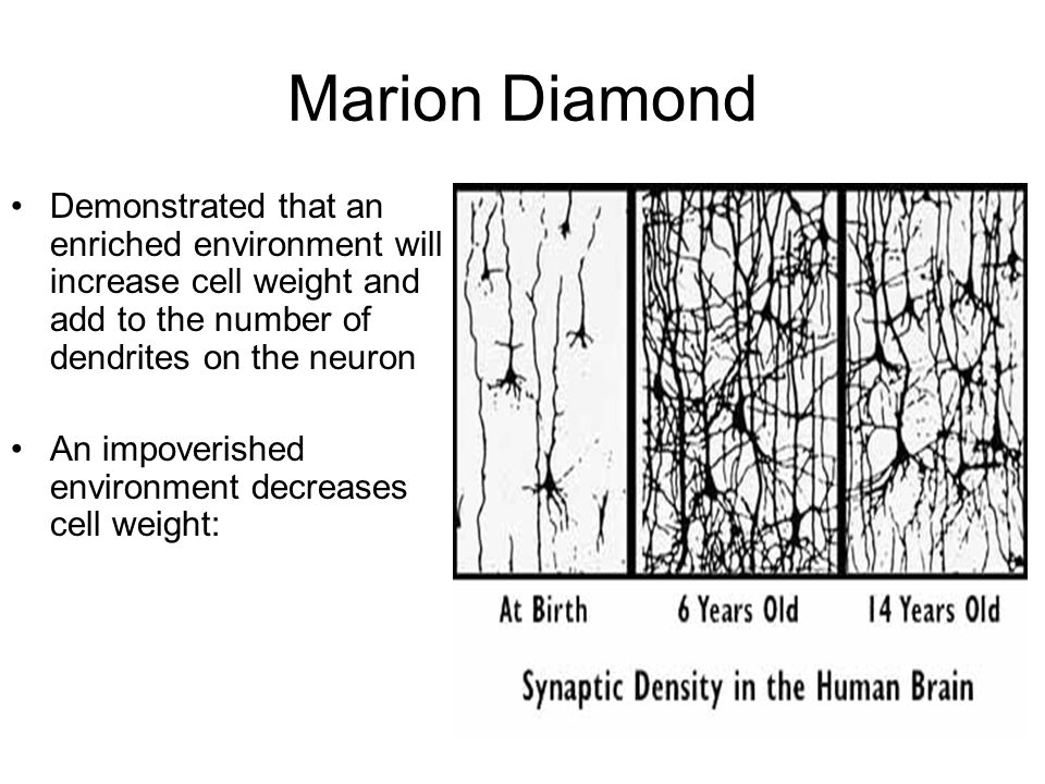 Marion Diamond Demonstrated that an enriched environment will increase cell weight and add to the number of dendrites on the neuron An impoverished environment decreases cell weight: