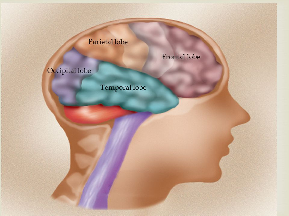Parietal lobe Occipital lobe Frontal lobe Temporal lobe