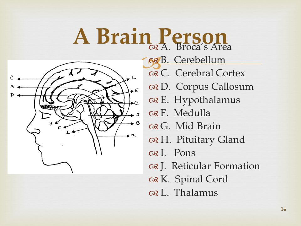  14 A Brain Person  A. Broca's Area  B. Cerebellum  C.