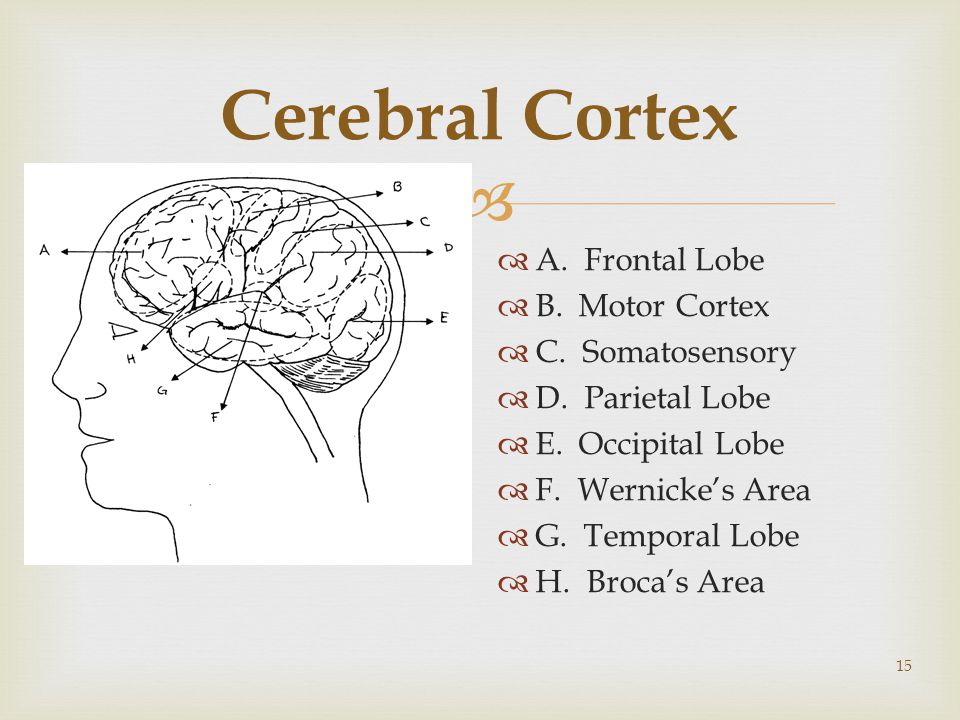  15 Cerebral Cortex  A. Frontal Lobe  B. Motor Cortex  C.