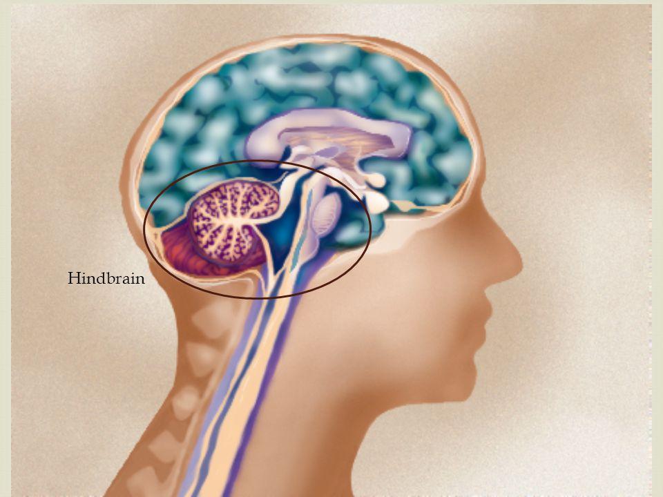 2. Cerebellum 1. Spinal cord 7. Pons 3. Corpus callosum 8. Medulla