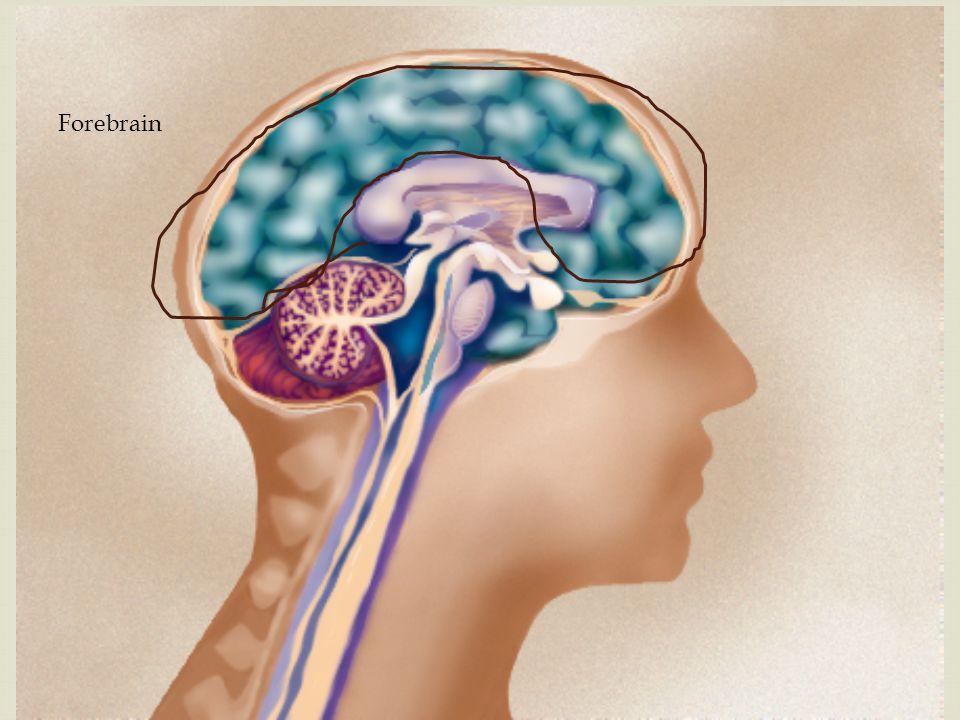 6. Hypothalamus 5. Thalamus 4. Cerebral Cortex