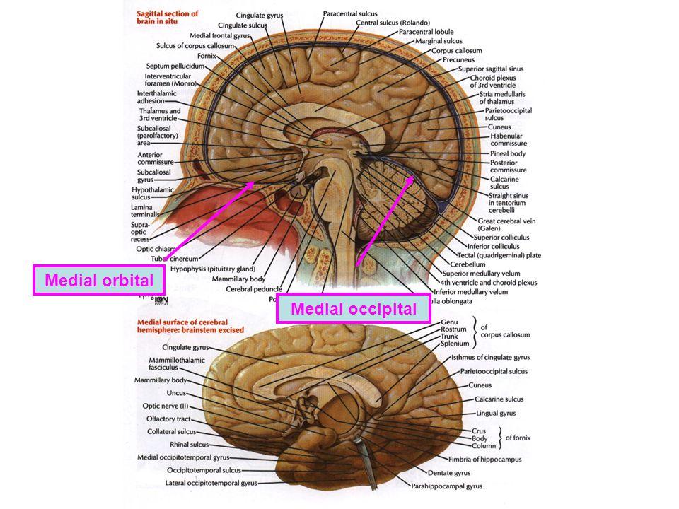 Medial occipital Medial orbital