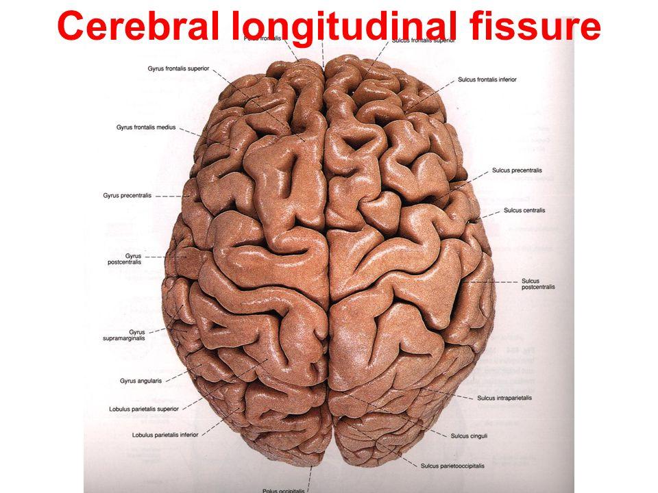 Cerebral longitudinal fissure
