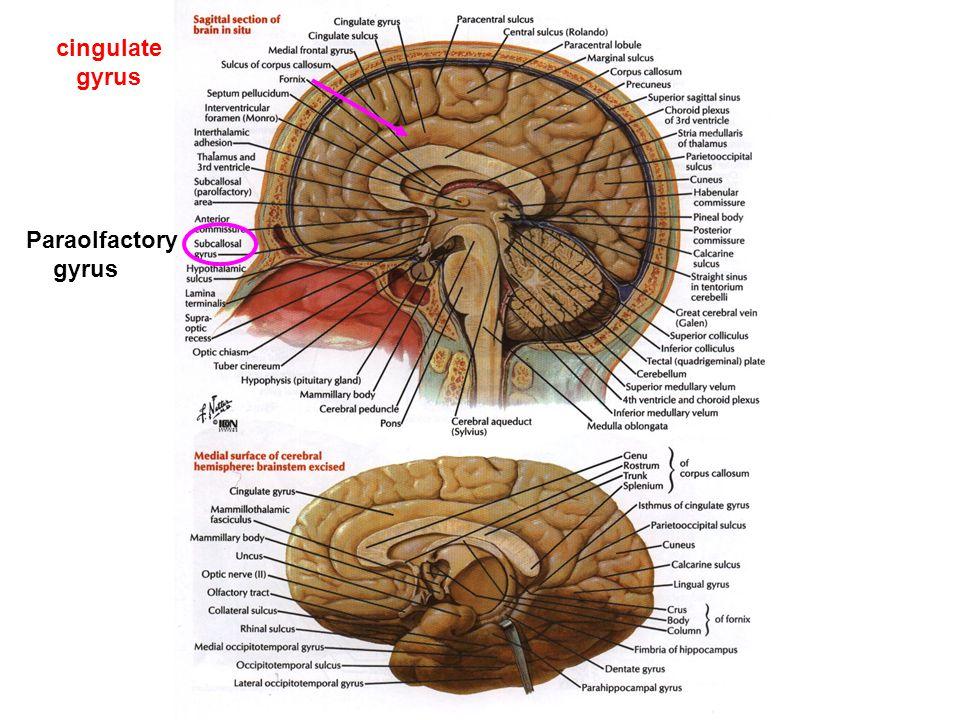 cingulate gyrus Paraolfactory gyrus