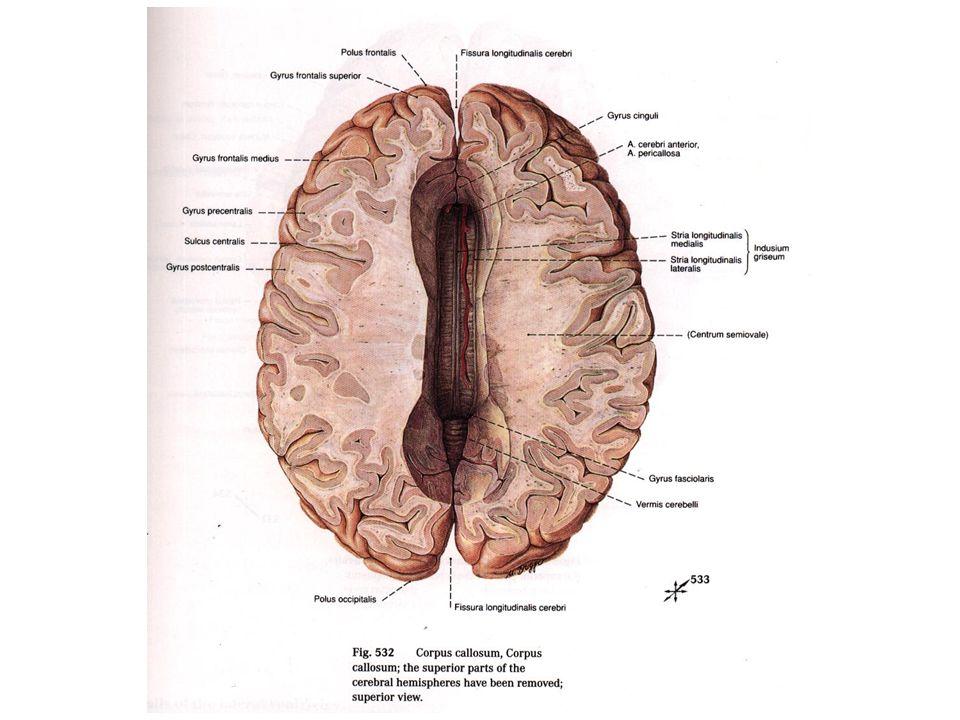 Limiting Sulci  1- Central sulcus شیار مرکزی  2- Lateral sulcus شیار کناری  3- Parito- occipital sulcus شیار آهیانه پس سری  4- Calcarin sulcus شیار مهمیزی  5- Cingulate sulcus شیار کمربندی