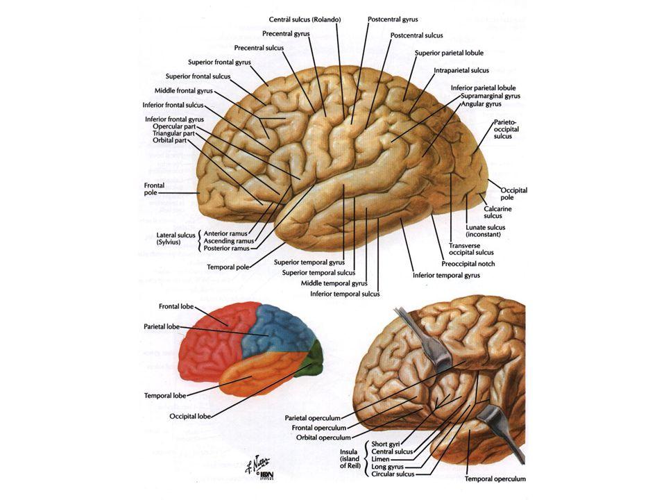 Cerebral structure 1- Cortex or pallium 2- Basal ganglia/nuclei 3- Medullary center 4- lateral ventricle