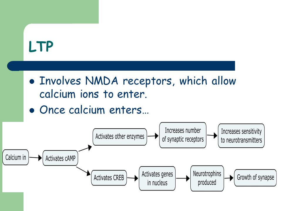LTP Involves NMDA receptors, which allow calcium ions to enter. Once calcium enters…