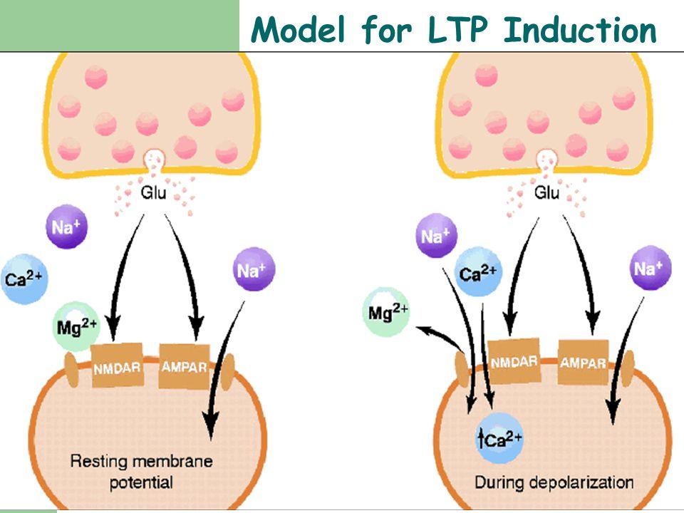 Model for LTP Induction