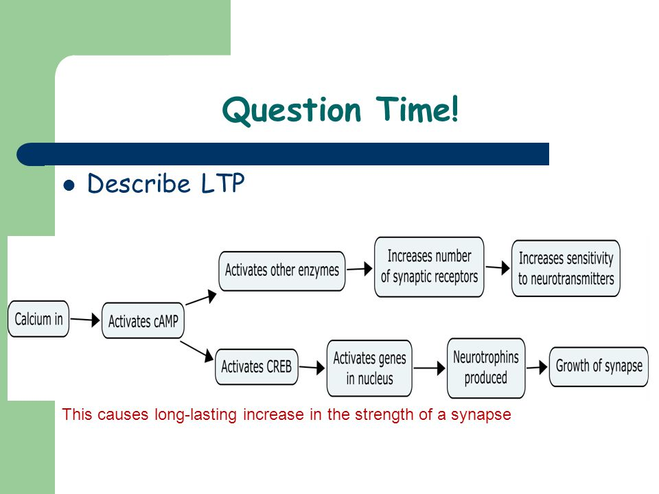 Question Time! Describe LTP This causes long-lasting increase in the strength of a synapse