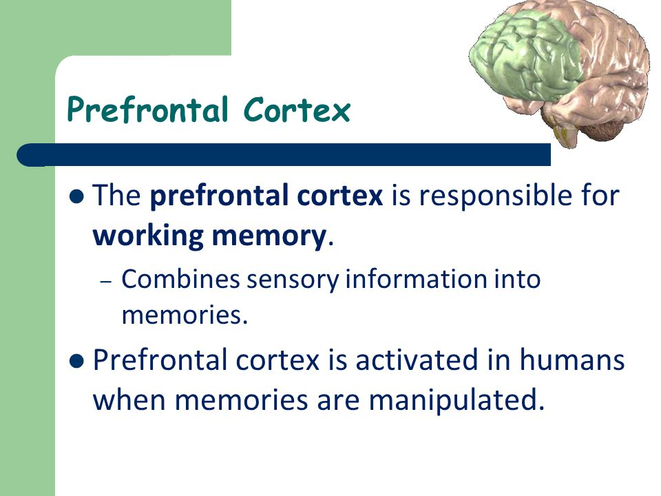 Prefrontal Cortex The prefrontal cortex is responsible for working memory. – Combines sensory information into memories. Prefrontal cortex is activate