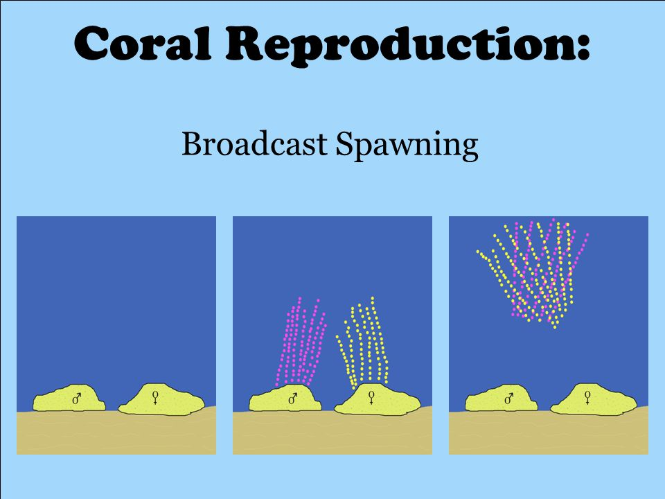 Coral Reproduction: Broadcast Spawning