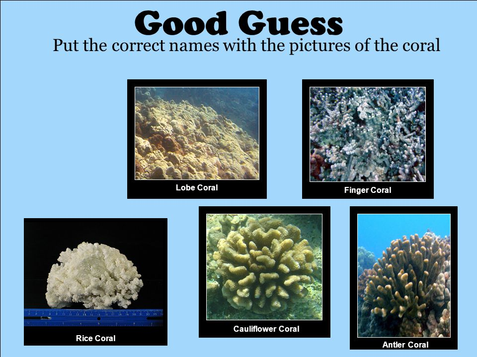 Good Guess Put the correct names with the pictures of the coral Antler Coral Rice Coral Finger Coral Lobe Coral Cauliflower Coral