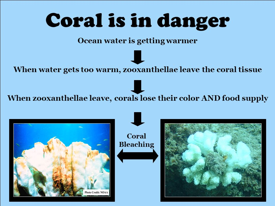 Coral is in danger Ocean water is getting warmer When water gets too warm, zooxanthellae leave the coral tissue When zooxanthellae leave, corals lose their color AND food supply Coral Bleaching