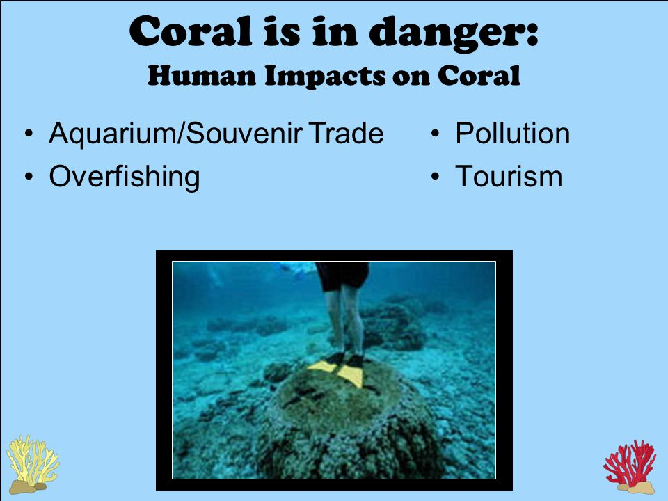 Coral is in danger: Human Impacts on Coral Pollution Tourism Aquarium/Souvenir Trade Overfishing